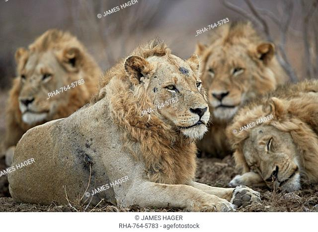 Four male lion (Panthera leo), Kruger National Park, South Africa, Africa