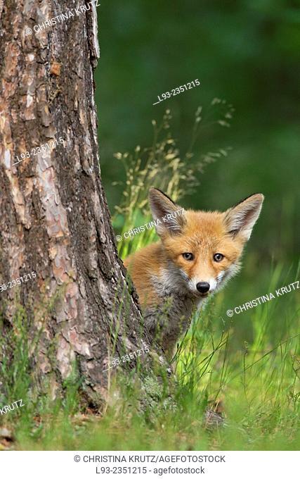 Red fox cub hiding behind a tree
