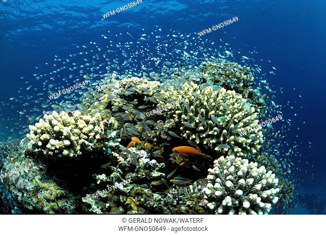 Coral Block with Pygmy Sweepers, Parapriacanthus, Marsa Alam, Red Sea, Egypt