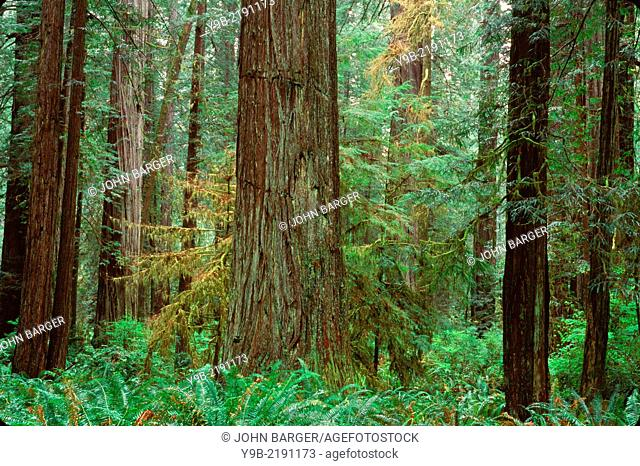 Redwoods (Sequoia sempervirens) rise above ferns and lush understory, Prairie Creek Redwood State Park, northern California, USA