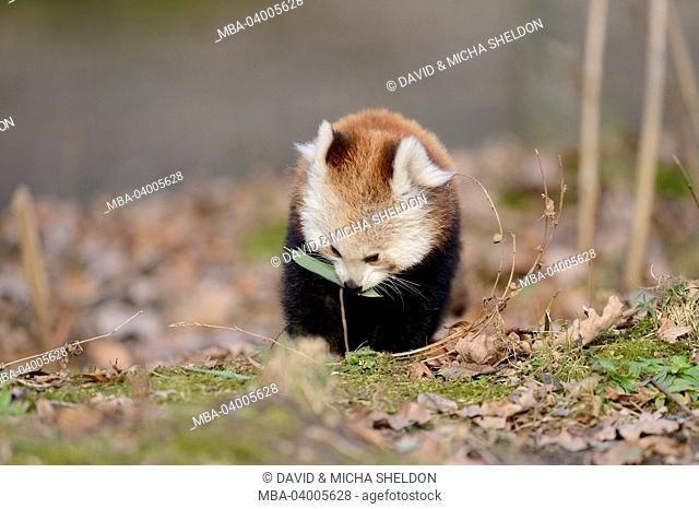 lesser pandas, Ailurus fulgens, forest floor, frontal, sitting