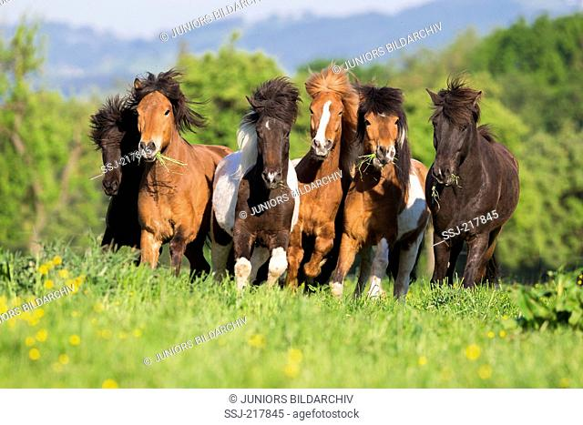 Icelandic Horse. Herd galloping on a pasture. Austria