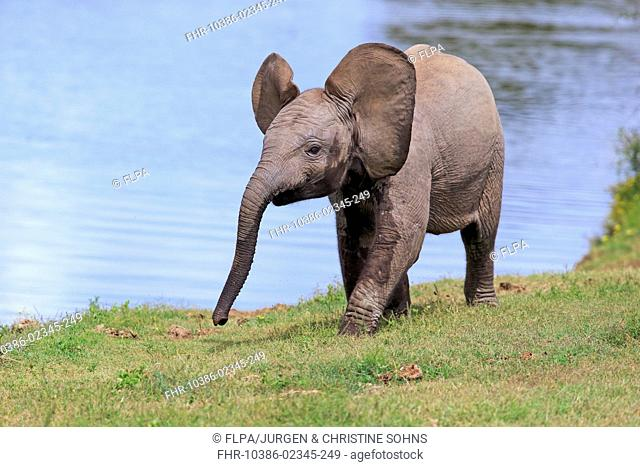 African Elephant (Loxodonta africana) calf, walking beside water, Addo Elephant N.P., Eastern Cape, South Africa, December