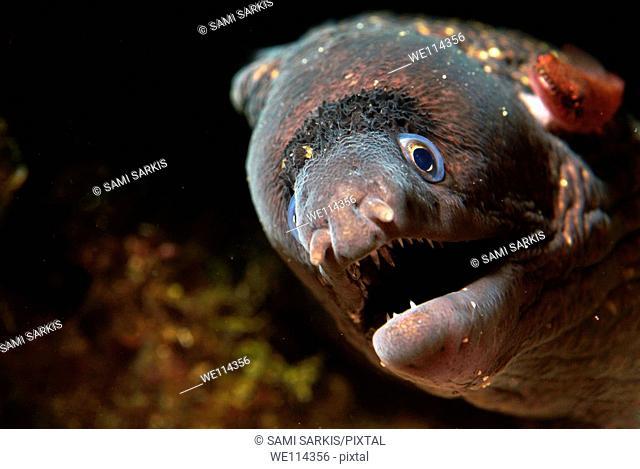 Head of a moray eel muraena helena