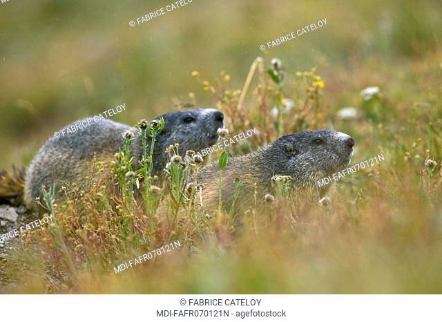 Couple of marmots in the natural regional park of Queyras