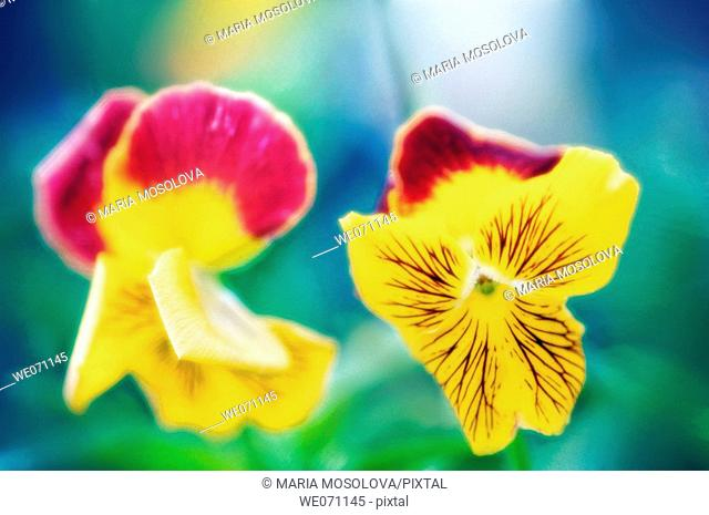Pansies. Viola x wittrockiana. July 2006, Maryland, USA