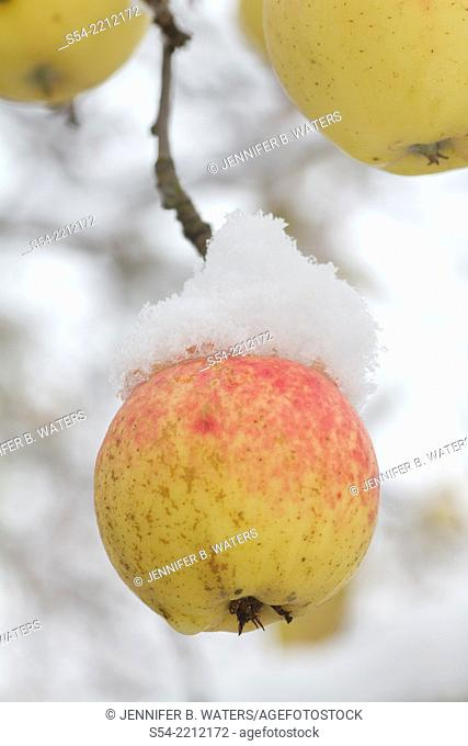 Golden delicious apples on a tree in late autumn after the first snowfall in Washington State, USA