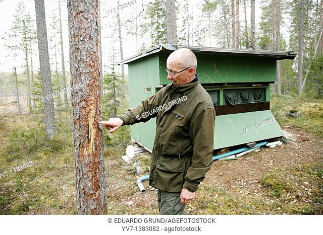 Ari Sääski, shows the marks of the claws of a grizzly bear in a tree to hide just two meters from where I will spend the night