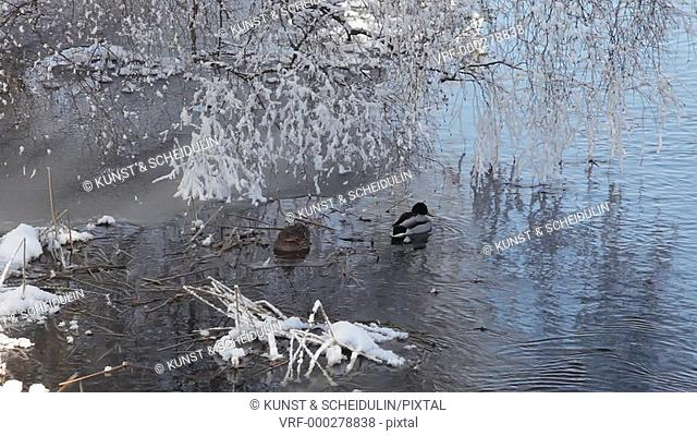 A couple of mallard ducks (Anas platyrhynchos) is swimming on the last stretch of open water on a very cold winter's day in Sweden