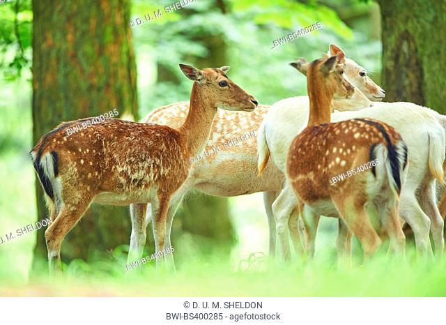 fallow deer (Dama dama, Cervus dama), at a clearing, Germany, Bavaria