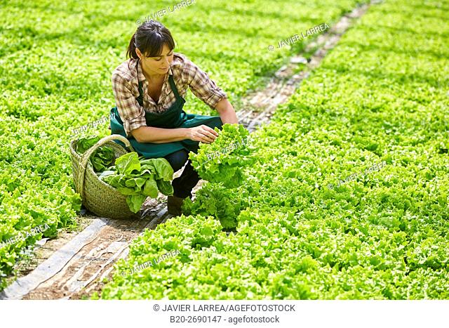 Farmer, harvesting lettuces, Greenhouse, Agricultural field, Villafranca, Navarra, Spain, Europe