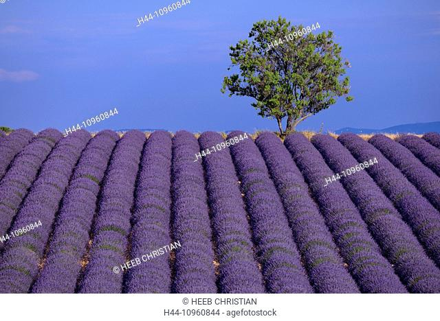 Europe, France, Provence, Vaucluse, field, tree, lavender, bloom, flowers, Valensole, Alpes de Haute Provence