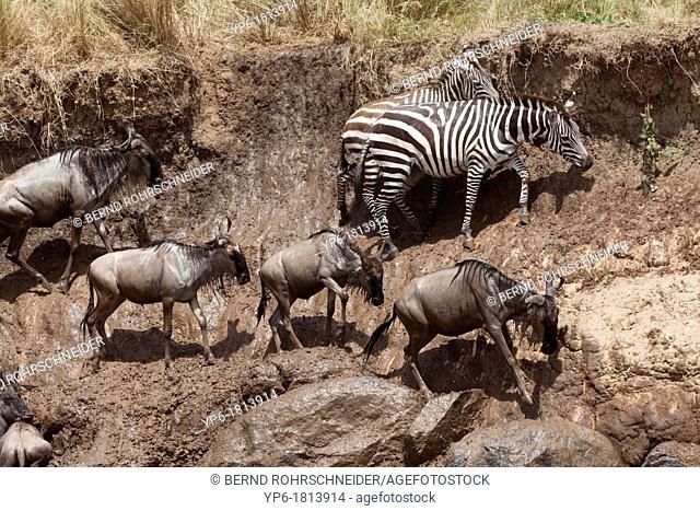 Plains Zebras Equus quagga and White-bearded Wildebeest Connochaetes taurinus on riverbank after crossing Mara River, Masai Mara, Kenya