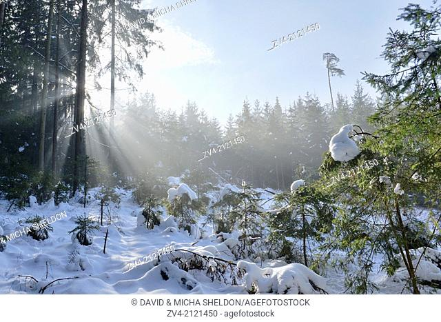 Landscape of a forest with Norway Spruces (Picea abies) in winter at snow melt, Germany
