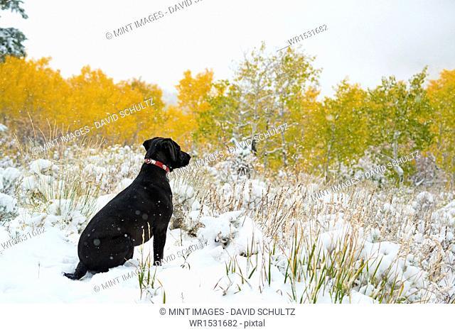 A black Labrador dog in snow
