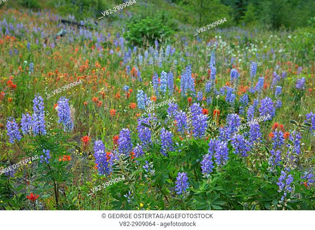 Lupine and indian paintbrush along Boundary Trail, Spirit Lake Memorial Highway, Mt St Helens National Volcanic Monument, Washington