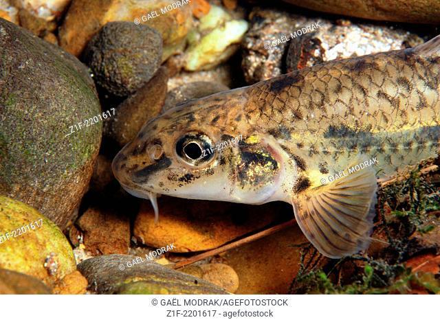 Gudgeon close-up in a french alpine river. Gobio gobio