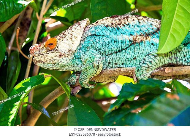 Orange eye chameleon