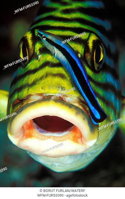 Oriental Sweetlips and Cleaner Wrasse, Plectorhinchus orientalis, Labroides dimidiatus, Ari Atoll, Indian Ocean, Maldives
