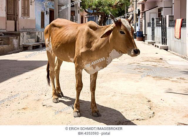 Zebu (Bos primigenius indicus) standing on road, Bera, Rajasthan, India