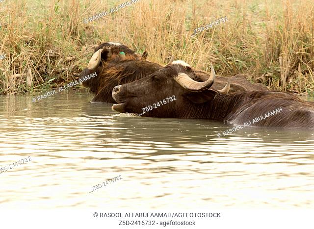 Image marshes of Iraq in Dhi Qar province, which is located south of Iraq, Show where water bodies and Cane papyrus, and Animals of buffalo