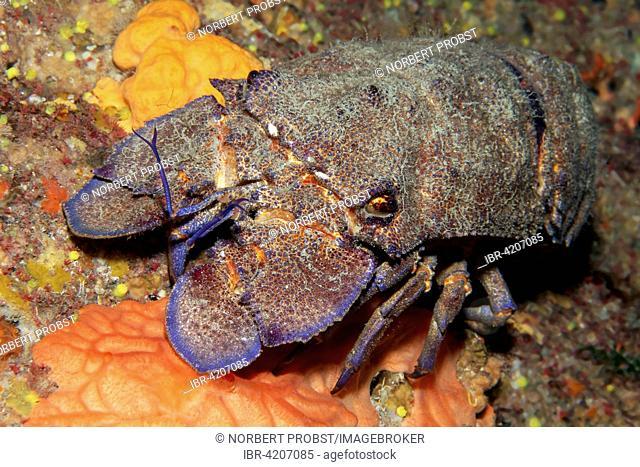 Mediterranean slipper lobster (Scyllarides latus), Corfu, Ionian Islands, Ionian Sea, Mediterranean Sea, Greece