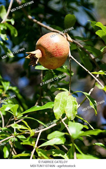 Tunisia - Tozeur - Pomegranate in a tree in the palm grove