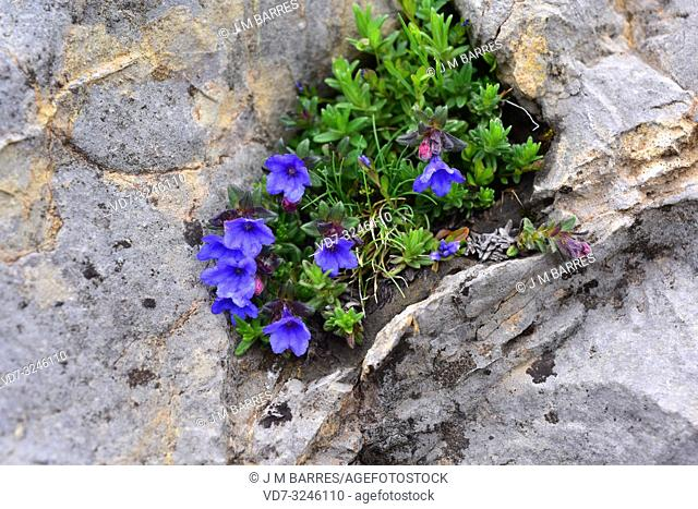 Purple gromwell (Lithodora diffusa or Lithospermum diffusum) is a perennial herb native to southwestern Europe. This photo was taken in Babia, Leon province