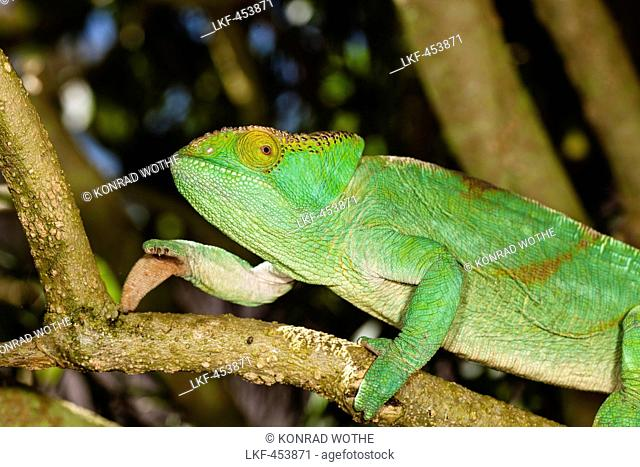 Parson's Chameleon, female, Calumma parsonii, Perinet, Madagascar, Africa