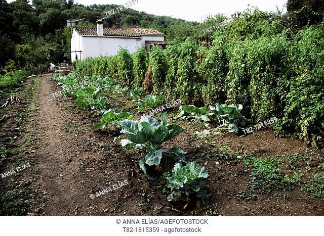 runaway culture perspective farrajera Brassica oleracea cabbage and tomatoes with white cottage, Andévalo, Sierra de Aracena, Huelva, Andalucía, Spain, Europe
