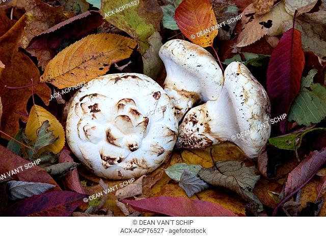 Pine Mushrooms , Matsutake, Wild mushroom, ( Tricholoma (Armillaria) ponderosum ) Autumn harvest, Roberts Creek, Sunshine Coast, B.C