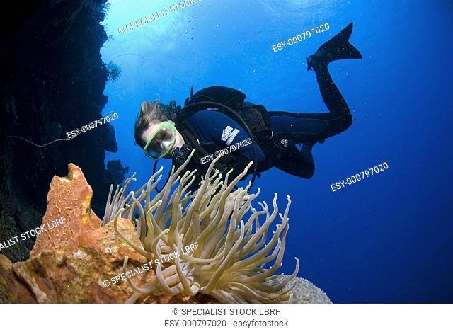 Diver approachiong anemone on colourful coral and sponge wall, Maria La Gorda, Cuba, Caribbean