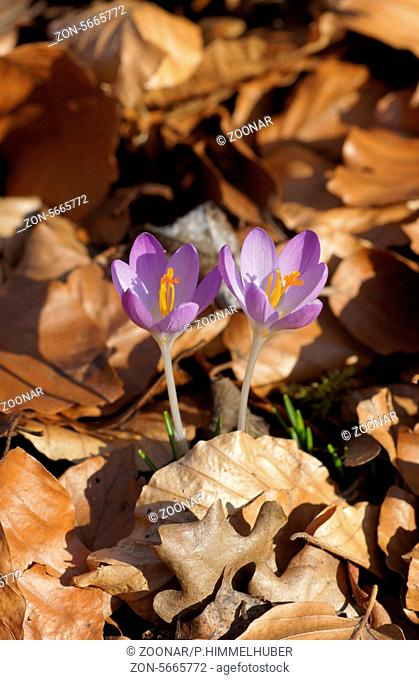 Woodland crocuses