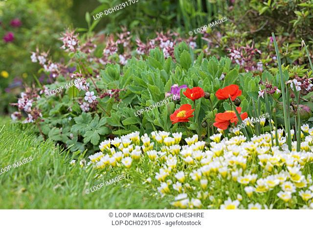 Red poppy flowers in a cottage garden in Wales