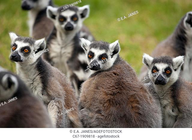 Ring Tailed Lemur Lemur catta
