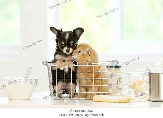 Chihuahua puppy and a kitten nuzzling in a dish rack