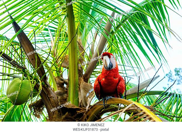 Panama, Red parrot on palm tree