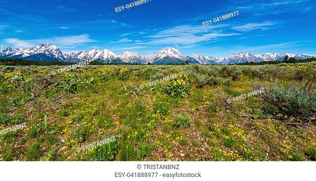 Alpine Wildflowers with the Teton Range in the background