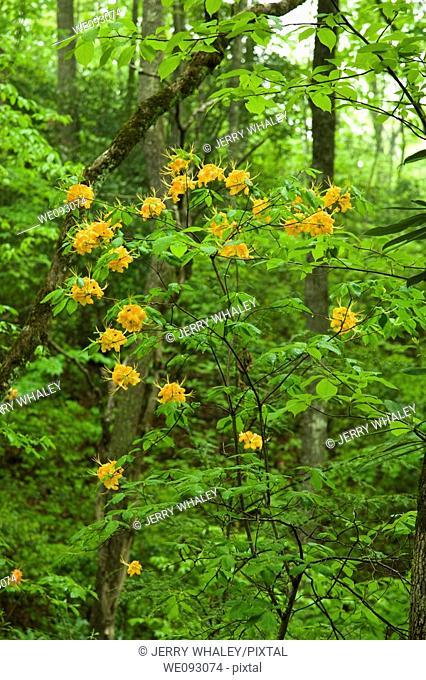 Flame Azalea, Pisgah National Forest, Western NC