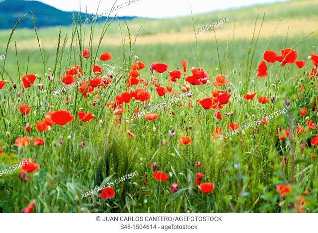 Poppies in a wheat field in La Rioja. Spain. Europe