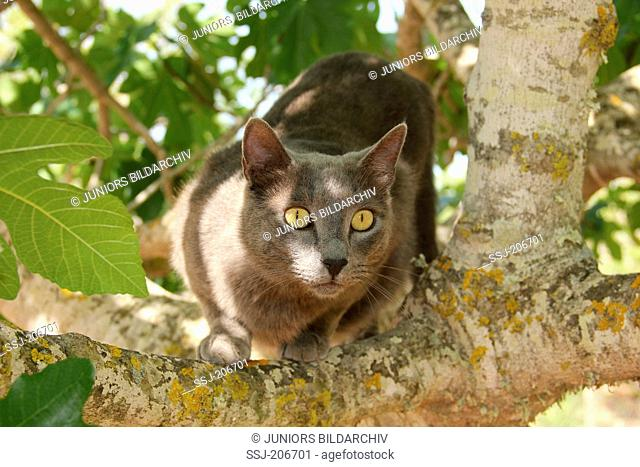 Domestic cat. Blue adult the fork of a tree. Spain
