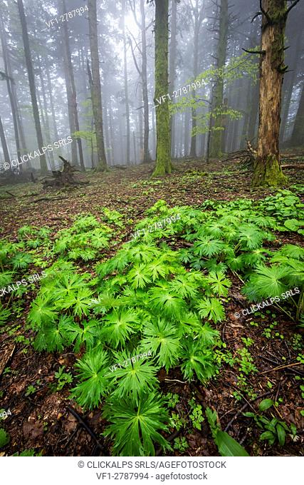 Sassofratino Reserve, Foreste Casentinesi National Park, Badia Prataglia, Tuscany, Italy, Europe. Green wet leaves in the wood