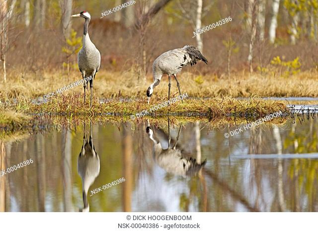 In Sweden, every pair of Common Crane (Grus grus) seeks a place to breed in spring. They defend this piece of land against all other birds or other animals