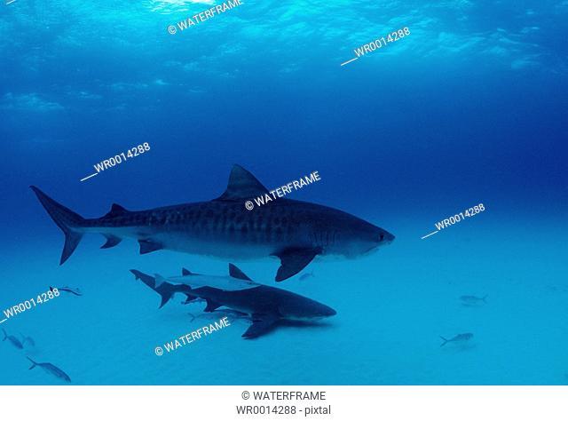Tiger Shark, Galeocerdo cuvier, Atlantic, Caribbean Sea, Bahamas