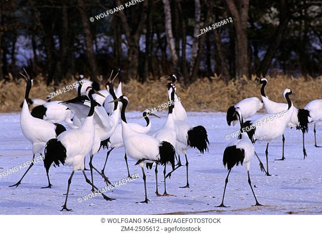 The endangered Japanese crane (Grus japonensis), also known as the red-crowned crane, is one of the rarest cranes in the world