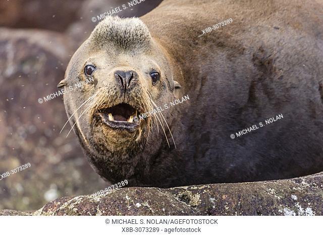 Very old California sea lion bull, Zalophus californianus, Isla San Pedro Martir, Baja California, Mexico