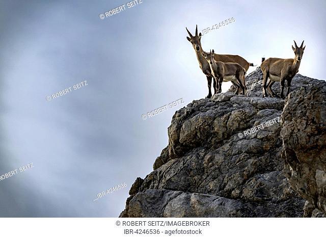 Alpine ibex, also steinbock or bouquetin (Capra ibex), goat with kids standing on rock, Gramais, Lech Valley, Tyrol, Austria