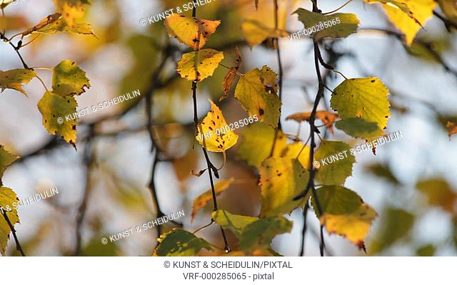 Yellow birch leaves are shivering in a light autumn breeze. Noraström, Västernorrlands Län, Sweden