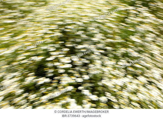 Camomile field, Schleswig-Holstein, Germany