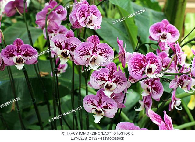 A cluster of Doritaenopsis orchids in full bloom